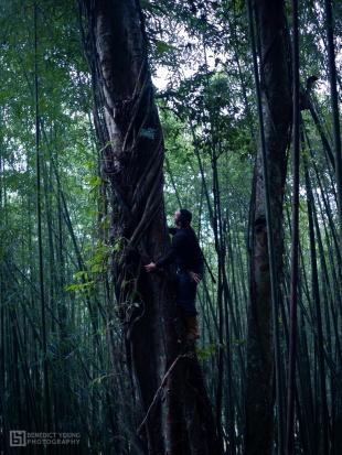 Tsou Villagers Climb High to Pick Aiyu Figs